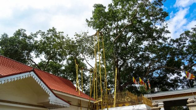 Prorider Trip Sri Lanka Frumusețe Anuradhapura (jaya Sri Maha Bodhi) Iluminism Tree Tree