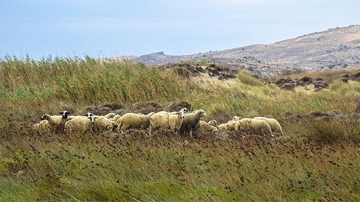 Prorider Story Trip Turkey Gokceada Island Inhabitants Sheep