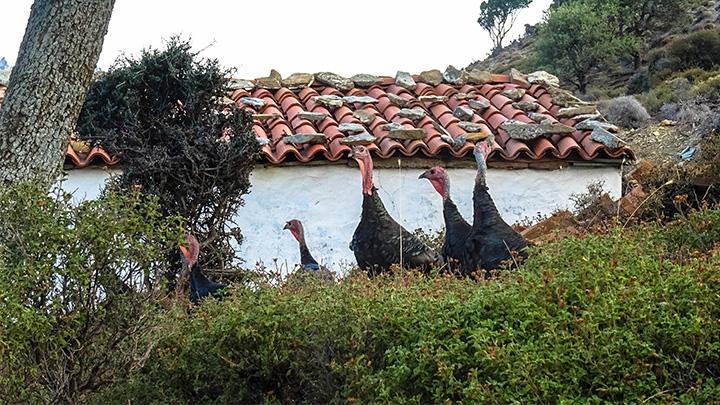 Prorider Story Trip Turkey Gokceada Island Inhabitants Turkeys